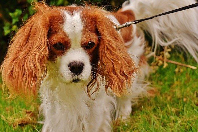 כלבי קבליר – נעים להכיר