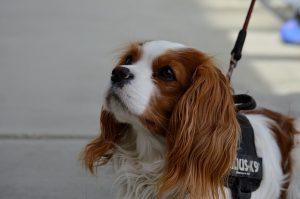 מה צריך לדעת על כלב קינג צארלס לפני שמביאים הביתה
