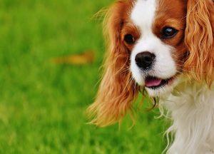 למה כלב גזעי?