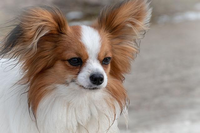 כלב פפיון